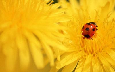 Alergija na polen – Homeopatski pristup